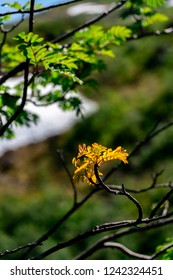 No rain for a long time forced this leaf to think it is fall early in the along fossestien (Waterfall path) in Gaula