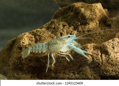 Noble crayfish, Astacus astacus  traditional European food on the pond