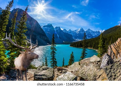 Noble deer with branched horns. High bank of Moraine Lake. Canadian Rockies, Province of Alberta. The concept of ecological, photographic and active tourism