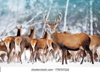 A noble deer with females in the herd against the background of a beautiful winter snow forest. Artistic winter landscape. Christmas photography.