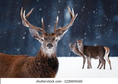 Noble deer male with big horns and deer female in a snowy forest. Natural winter image. Winter wonderland.