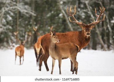 A noble deer male with female in the herd against the background of a beautiful winter snow forest. Artistic winter landscape. Christmas image.