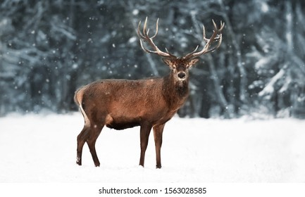 Noble deer male in a snowy forest. Natural winter image. Winter wonderland.