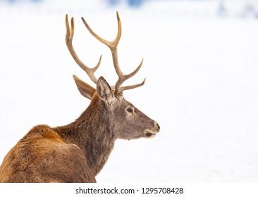 noble deer male in winter snow