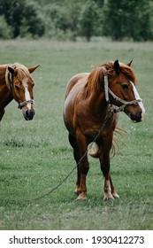 noble horses graze in the field in summer