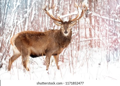 Noble red deer male against the winter snow forest. Winter christmas landscape.
