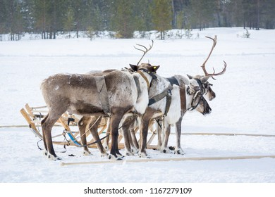 Noble reindeer in harness next to sleds ready flee on winter camp in Siberia