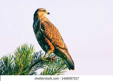 noble view brown hawk sitting on a tree branch, bird of prey hawk on the background of the sky