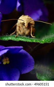 Noctua comes is sitting on the leaf of Violet