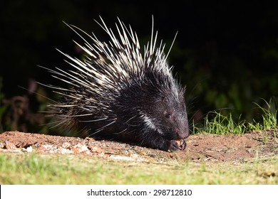 Nocturnal animals Malayan porcupine(Hystrix brachyura) in nature at Kaengkrajarn national park,Thailand