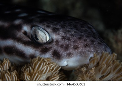 A nocturnal Coral Cat shark, Atelomycterus marmoratus, lies on coral in Komodo National Park, Indonesia. This region has high marine biodiversity and is a popular destination for scuba divers.