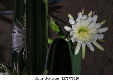 """Nocturnal flowering of cactus Echinopsis pachanoi called """"San Pedro"""" in the city whith black back backgranud"""