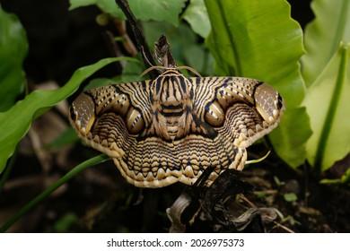 The nocturnal Owl Moth (Brahmaea hearseyi) with eye spots, Sarawak, Borneo