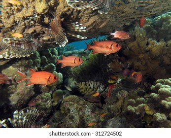 Nocturnal soldierfish under table coral