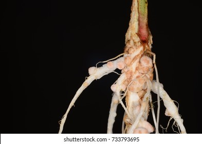 Nodules in legume roots