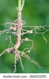 Nodules of soybean. Atmospheric nitrogen-fixing bacteria live inside