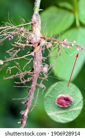 Nodules of soybean. Atmospheric nitrogen-fixing bacteria live inside.  One nodule cut and visible inside.