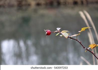 Noibara : Japanese rose : Rosa multiflora.