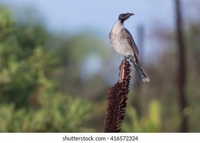 Noisy friarbird (Philemon corniculatus), a species of Australian honeyeater, perched on a grass tree flower spike.