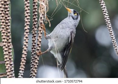 Noisy Miner bird collecting nesting material