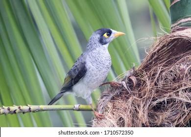 Noisy Miner bird resting  on palm tree