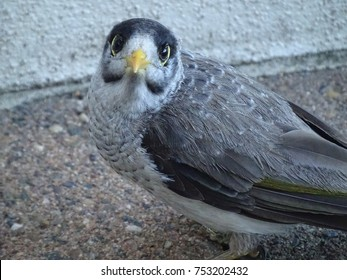Noisy Miner, caught doing something it shouldn't