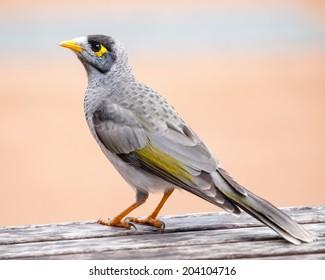 Noisy Miner (Manorina melanocephala) standing on a wooden public picnic table