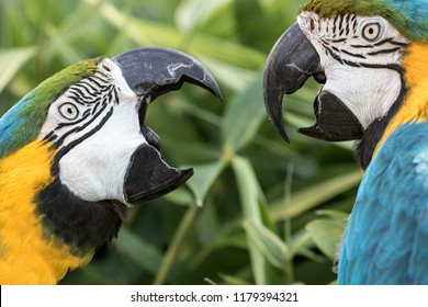 Noisy neighbour. Angry birds. Domestic squabble of two Blue-and-gold macaw parrot neighbors. The fight was a dispute over a walnut. Animal argument. Funny animal meme image.