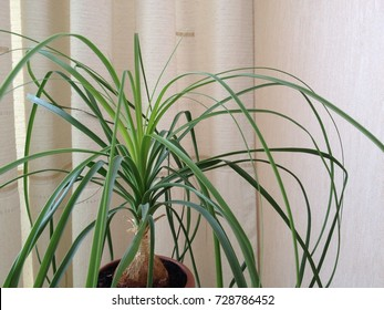 Nolina Beaucarnea recurvata elephant's foot, ponytail palm is a species of plant in the family Asparagaceae, native to the states of Tamaulipas and San Luis Potosí in eastern Mexico. ornamental plant.