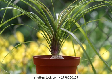 Nolina or Pony-tail palm. Indoor plants outdoors outside in summer season