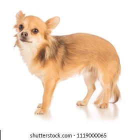 Nom de l'objet :Chihuahua with long hair