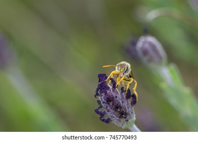 Nomada subcornuta, a species of bee in its natural environment.