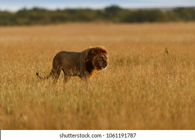 Nomand Lion in the golden grass of Masai Mara