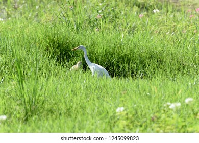 A non - breeding adult of eastern cattle egret with mainly white plumage , a yellow bill and yellow legs.