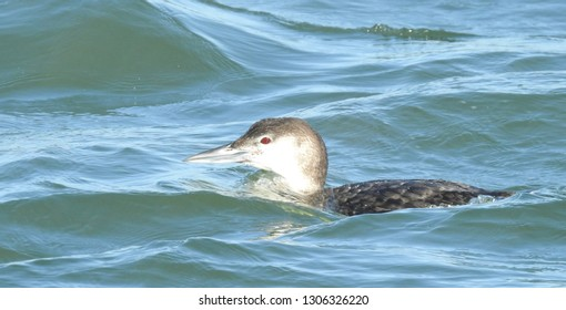 Non Breeding Female Loon