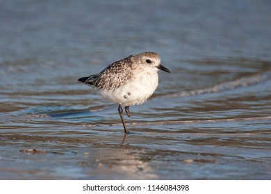 Non breeding Plumage Black-bellied Plover in Florida Wetland
