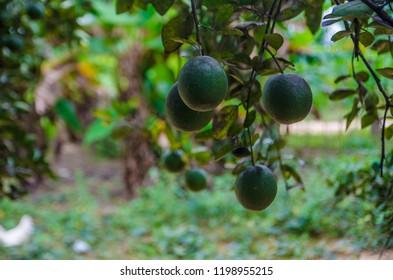 Non-acidic oranges growing on an orange tree, Eastern Region, Ghana.