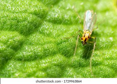 Non-biting midge also known as Chironomidae