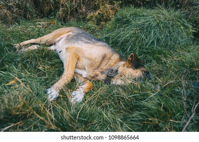 non-breed dog is lying on green grass
