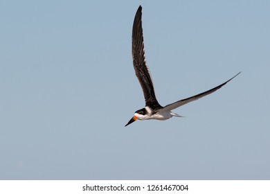An non-breeding adult Black Skimmer flying along the beach at Ocean City, Maryland