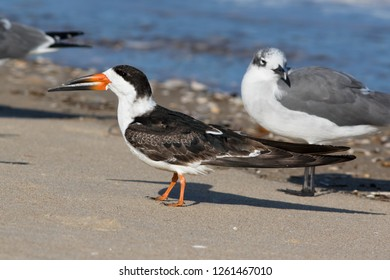An non-breeding adult Black Skimmer resting on the beach at Ocean City, Maryland