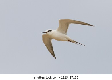 Non-breeding adult Forster's Tern flying along the beach at Ocean City, Maryland