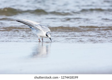 A non-breeding adult Forster's Tern standing on the beach
