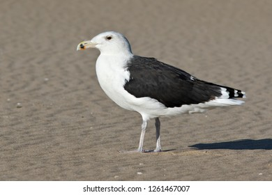 A non-breeding adult Great Black-backed Gull resting on the beach at Ocean City, Maryland