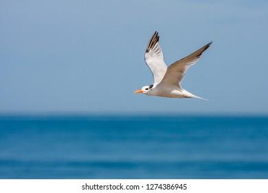 A non-breeding adult Royal Tern flying along the seashore