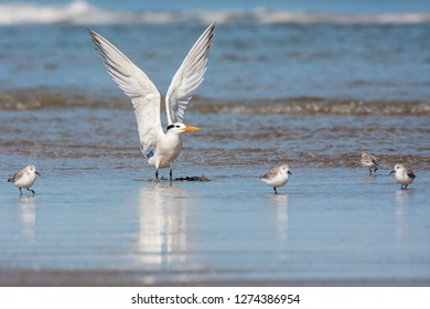 A non-breeding adult Royal Tern stretching its wings