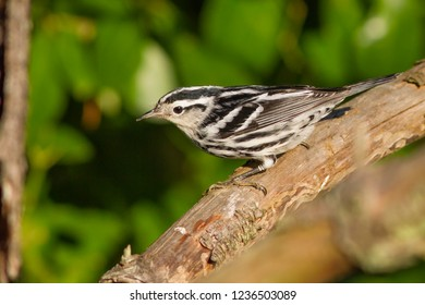A non-breeding Black-and-white Warbler perching on a  branch