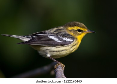 A non-breeding Blackburnian Warbler perching on a tree branch