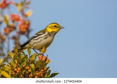 A non-breeding Black-throated Green Warbler perching in a tree