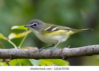 A non-breeding Blue-headed Vireo perching on a tree branch
